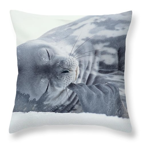 One Animal Throw Pillow featuring the photograph Weddell Seal Leptonychotes Weddellii by Eastcott Momatiuk