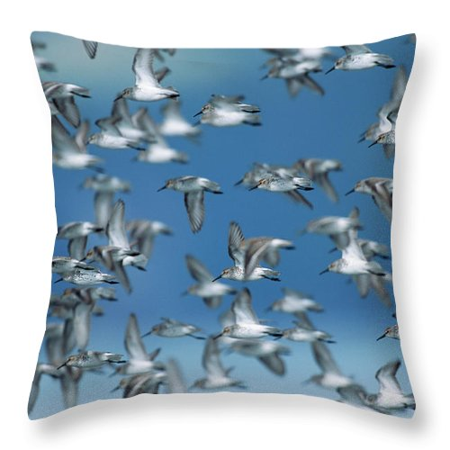 Animal Themes Throw Pillow featuring the photograph Western Sandpipers Calidris Mauri by Eastcott Momatiuk