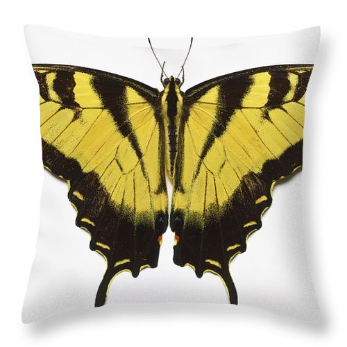 White Background Throw Pillow featuring the photograph Western Tiger Swallowtail Butterfly by Don Farrall