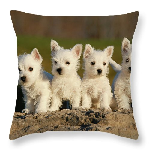 Pets Throw Pillow featuring the photograph Westies On The Rock by Celso Mollo Photography