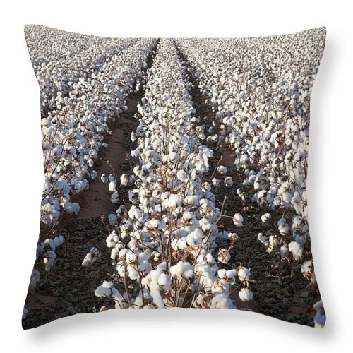 Scenics Throw Pillow featuring the photograph White Ripe Cotton Crop Plants Rows by Dszc