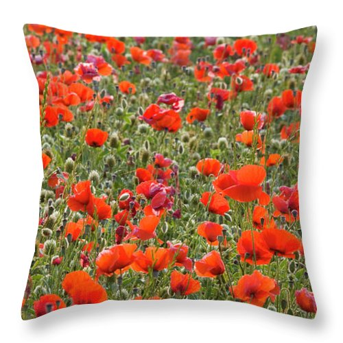 Panoramic Throw Pillow featuring the photograph Wild Poppies, Val Dorcia, Pienza by David C Tomlinson