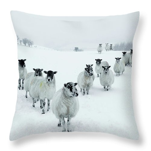 Cool Attitude Throw Pillow featuring the photograph Winter Sheep V Formation by Motorider