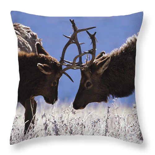 Animal Themes Throw Pillow featuring the photograph Young Bull Rocky Mountain Elk Cervus by Riccardo Savi