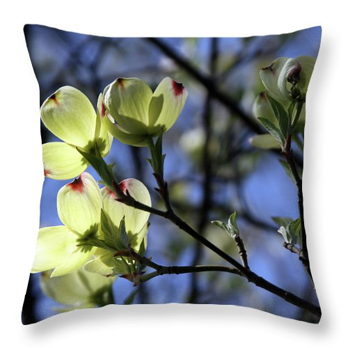 Dogwood Tree Throw Pillow featuring the photograph Dogwood in Sunlight by John Lautermilch