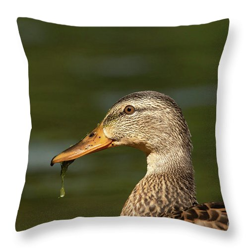 Mallard Throw Pillow featuring the photograph Female Mallard With Seaweed in Mouth by Nikki Vig