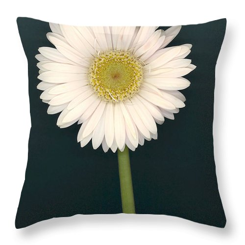 White Gerbera Daisy Throw Pillow featuring the photograph White Gerbera Series II by Suzanne Gaff