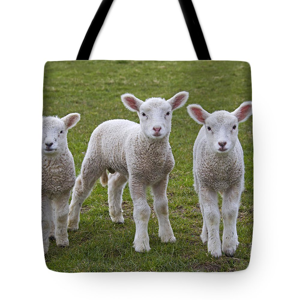 Domestic Sheep Tote Bag featuring the photograph 130201p089 by Arterra Picture Library