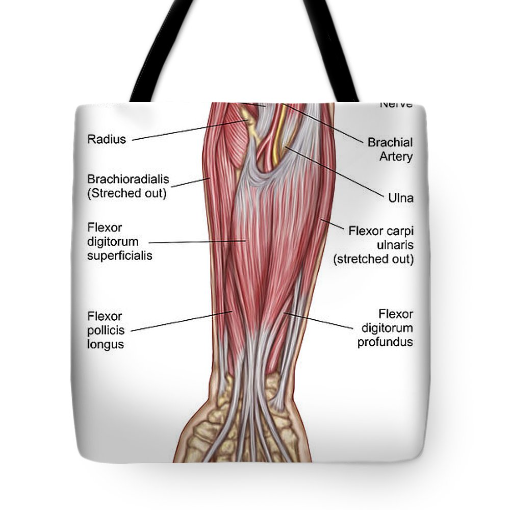 Anatomy Of Forearm Muscles, Anterior Tote Bag for Sale by Stocktrek ...