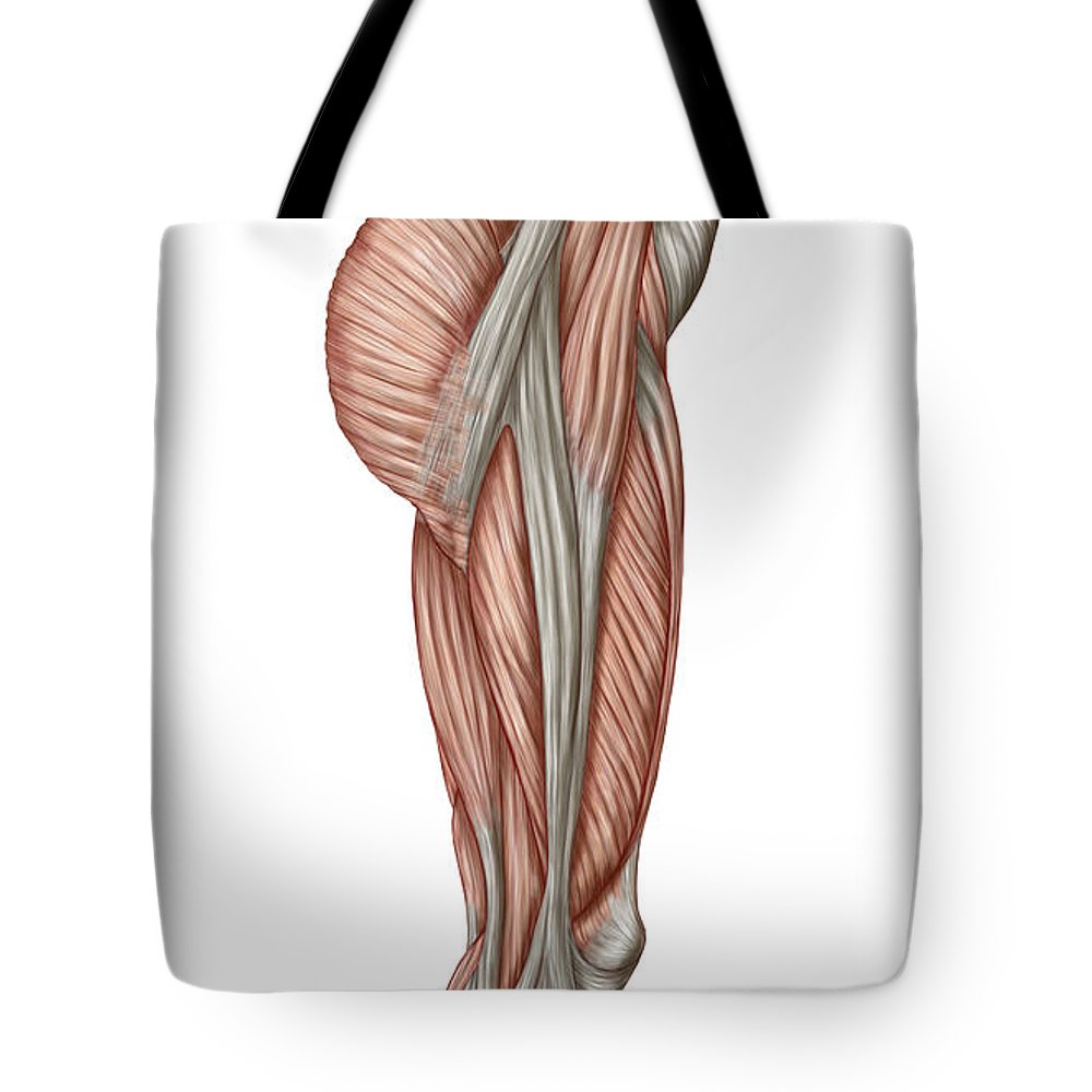 Anatomy Of Human Thigh Muscles Tote Bag for Sale by Stocktrek Images