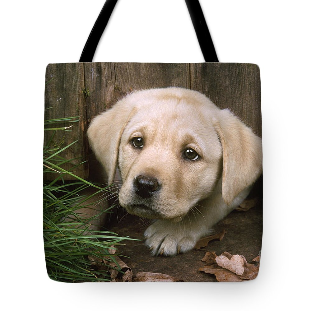 Labrador Tote Bag featuring the photograph Labrador Puppy by John Daniels
