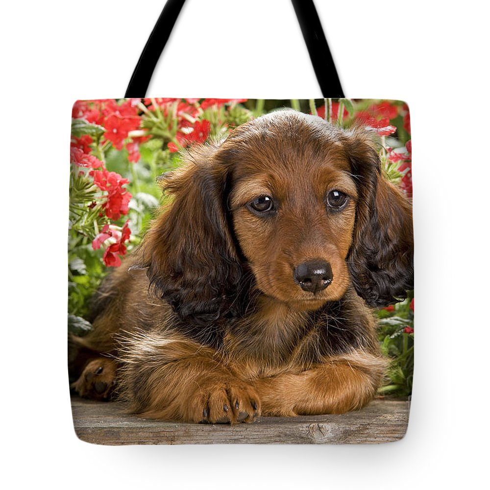 Long-haired Dachshund Tote Bag featuring the photograph Long-haired Dachshund by Jean-Michel Labat