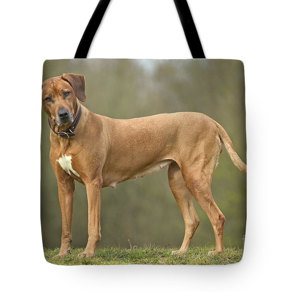 Rhodesian Ridgeback Tote Bag featuring the photograph Rhodesian Ridgeback by Jean-Michel Labat