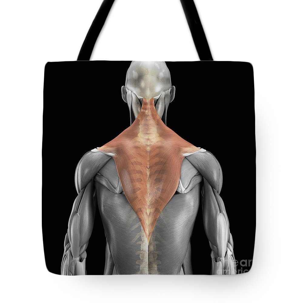 3d Visualisation Tote Bag featuring the photograph Trapezius Muscle With Skeleton by Science Picture Co