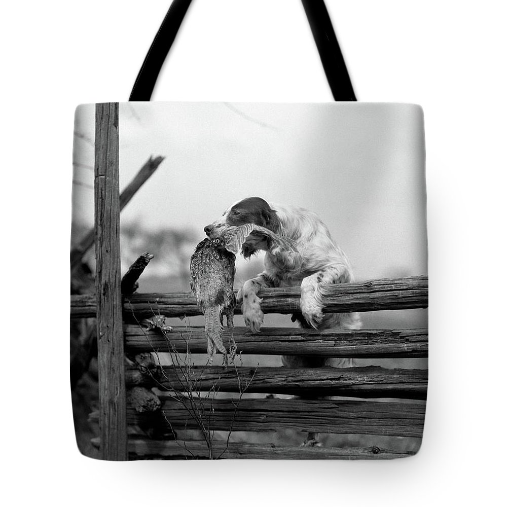 Photography Tote Bag featuring the photograph 1920s English Setter Dog Climbing by Animal Images