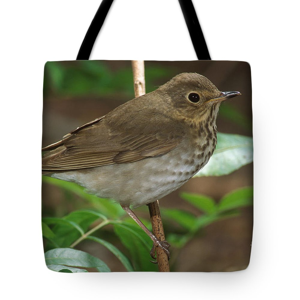 Animal Tote Bag featuring the photograph Swainsons Thrush by Anthony Mercieca