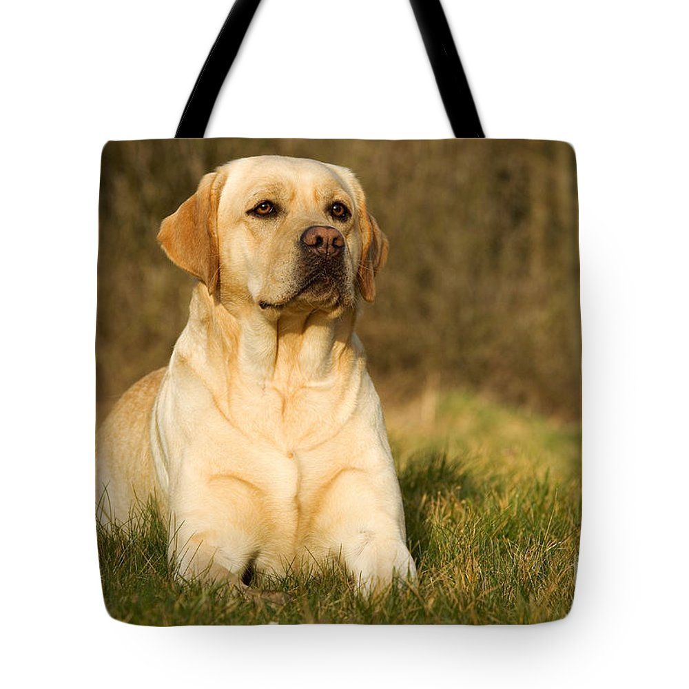Labrador Retriever Tote Bag featuring the photograph Yellow Labrador by Jean-Michel Labat