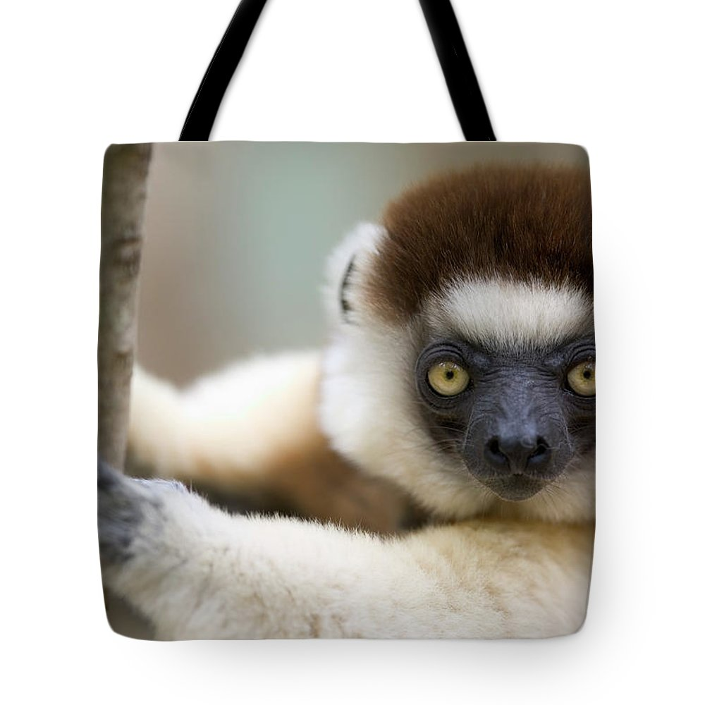 00621033 Tote Bag featuring the photograph Verreauxs Sifaka In Berenty by Cyril Ruoso