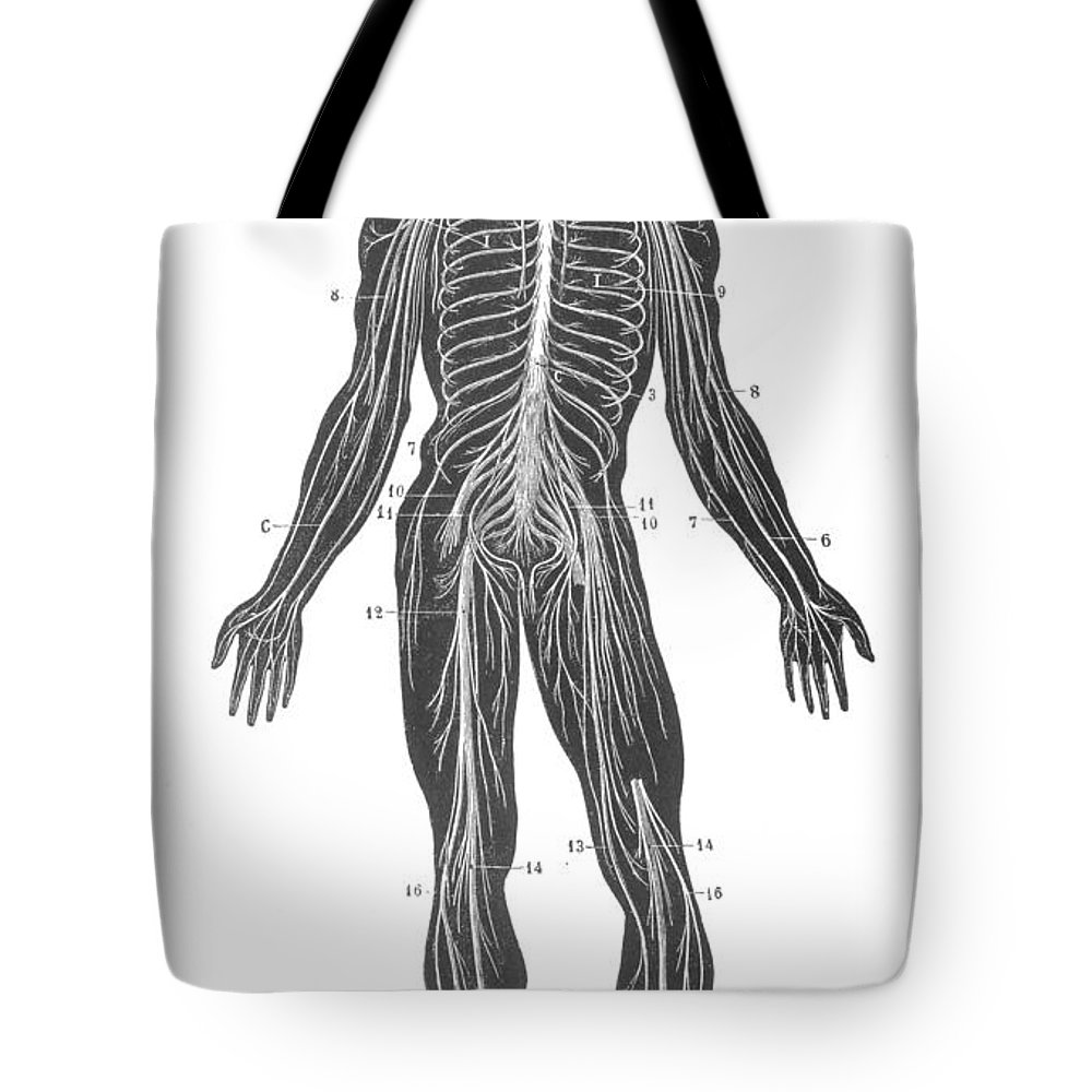 1890s Tote Bag featuring the photograph Anatomy: Nervous System by Granger