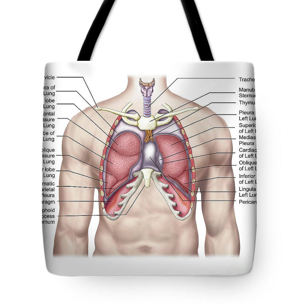 Anatomy Of Human Lungs In Situ Tote Bag For Sale By Stocktrek Images