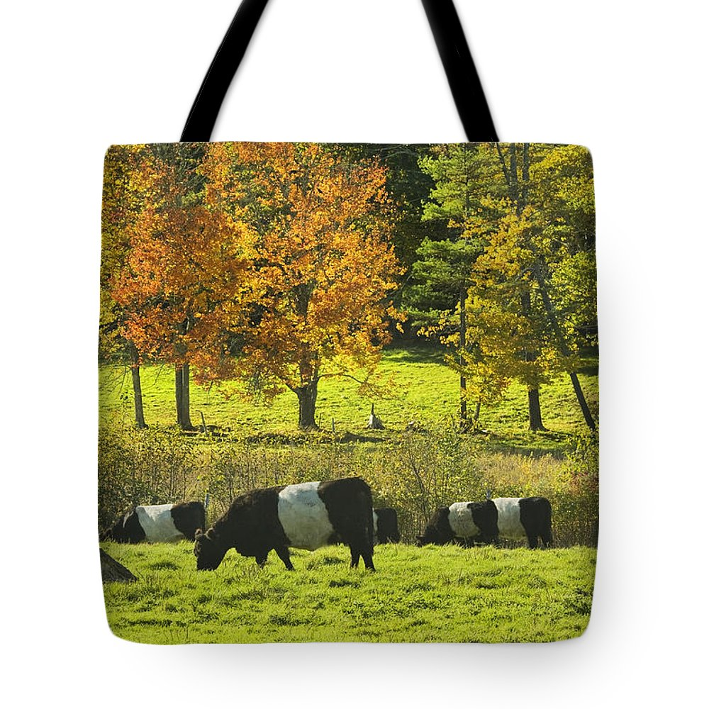 Cow Tote Bag featuring the photograph Belted Galloway Cows Grazing On Grass In Rockport Farm Fall Maine Photograph by Keith Webber Jr