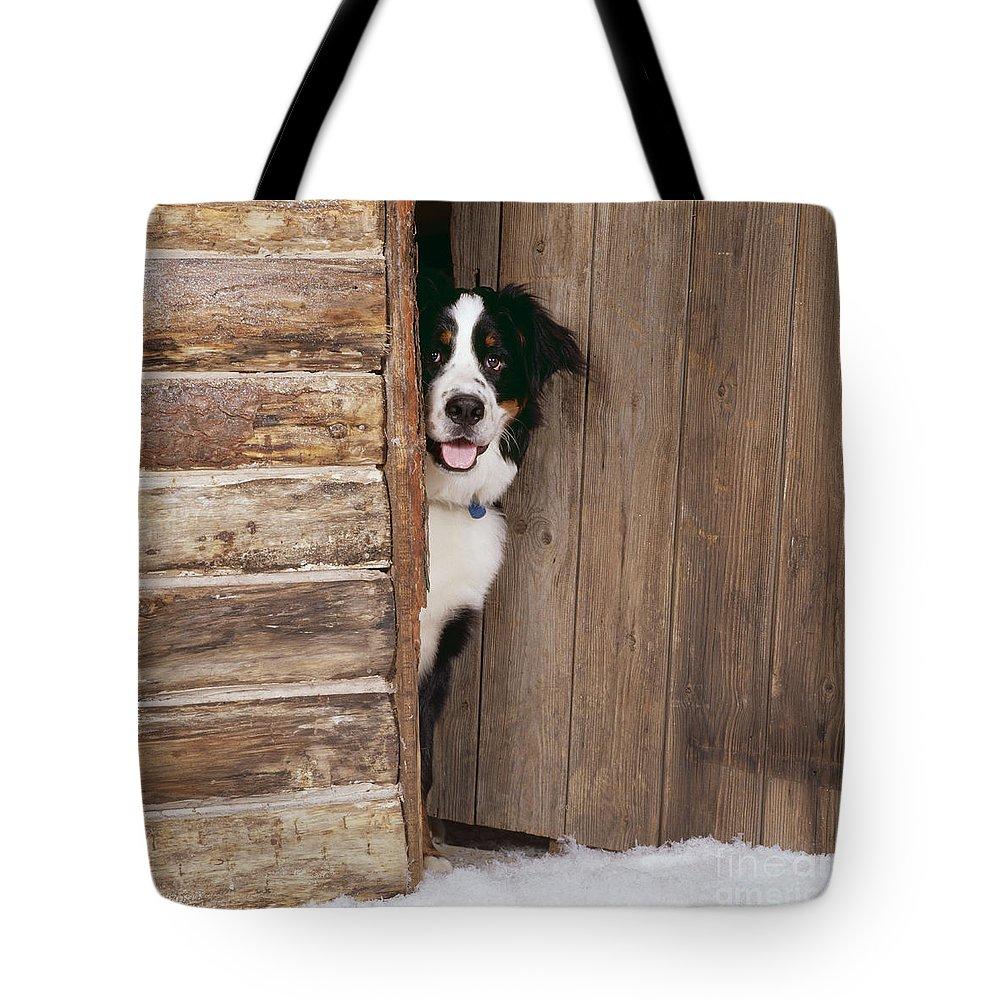 Bernese Mountain Dog Tote Bag featuring the photograph Bernese Mountain Dog At Log Cabin Door by John Daniels