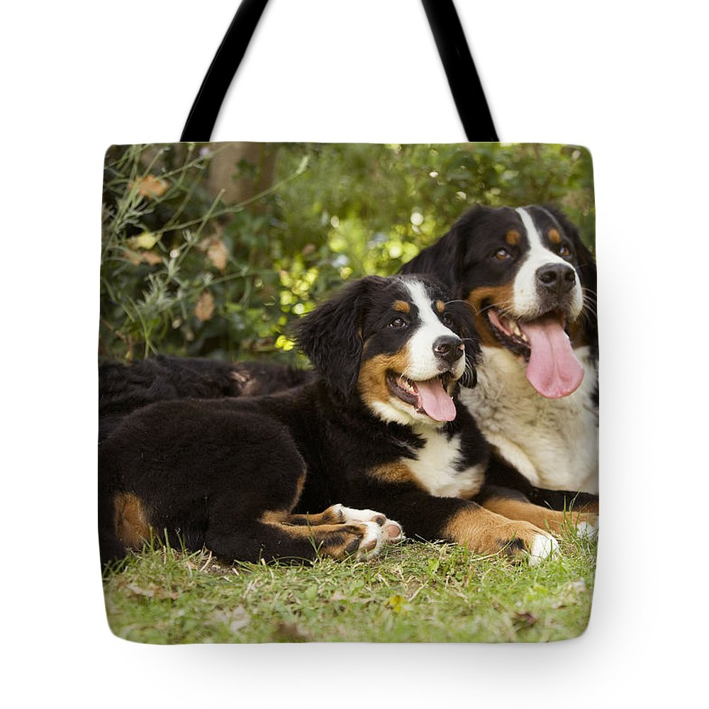 Bernese Mountain Dog Tote Bag featuring the photograph Bernese Mountain Dogs by Jean-Michel Labat