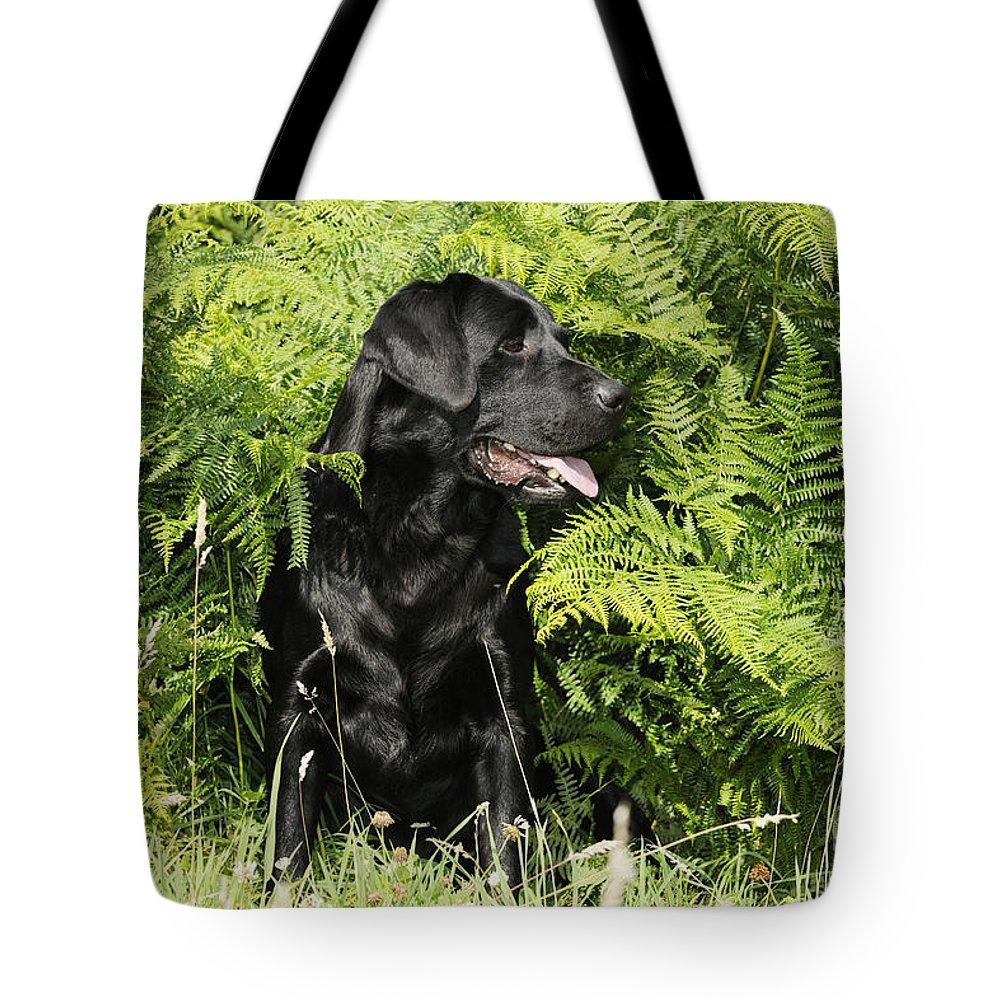 Labrador Retriever Tote Bag featuring the photograph Black Labrador Dog by John Daniels