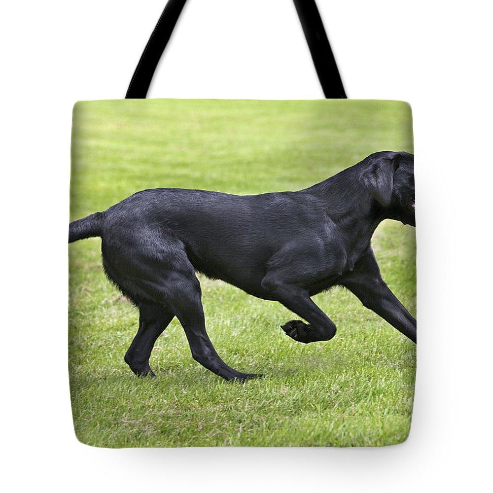 Labrador Retriever Tote Bag featuring the photograph Black Labrador Playing by Johan De Meester