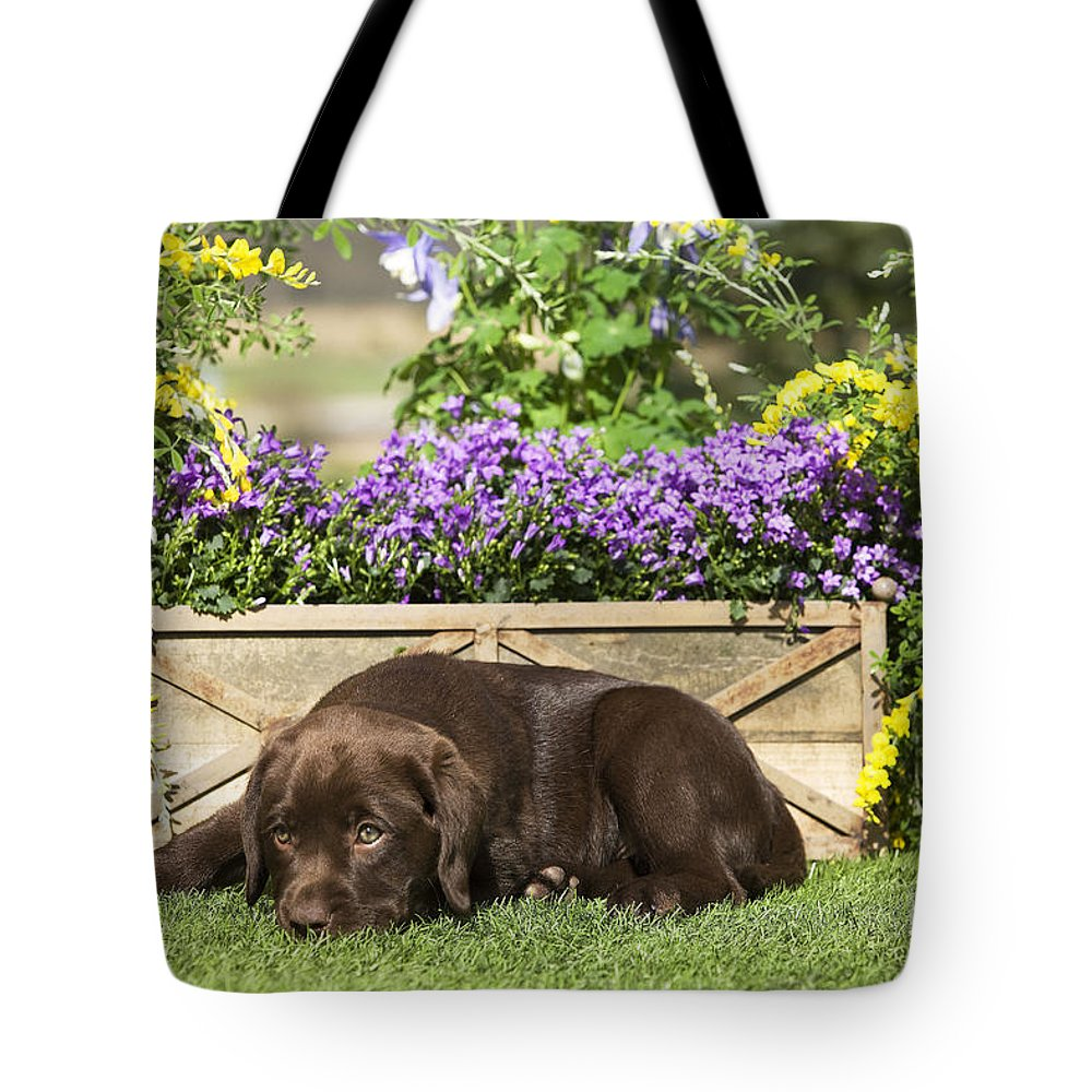 Labrador Retriever Tote Bag featuring the photograph Chocolate Labrador Puppy by Jean-Michel Labat