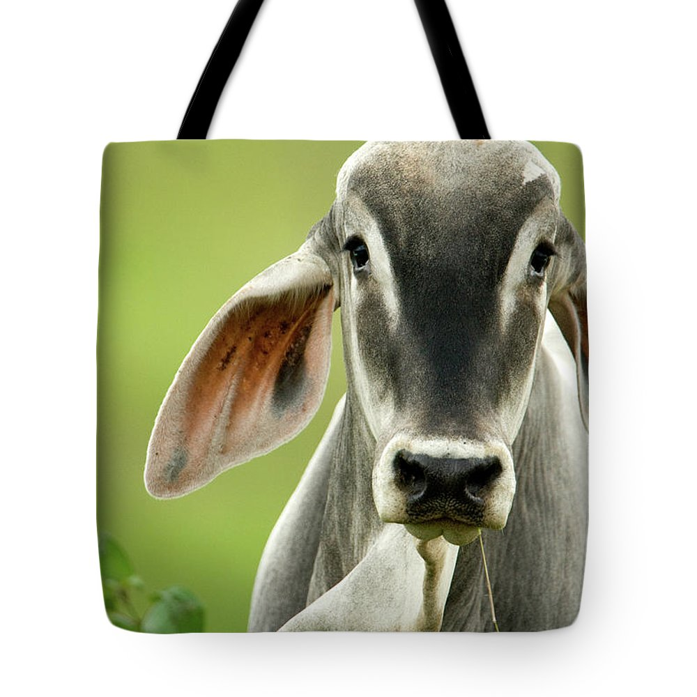 Photography Tote Bag featuring the photograph Close-up Of A Brahman Cattle Bos by Animal Images