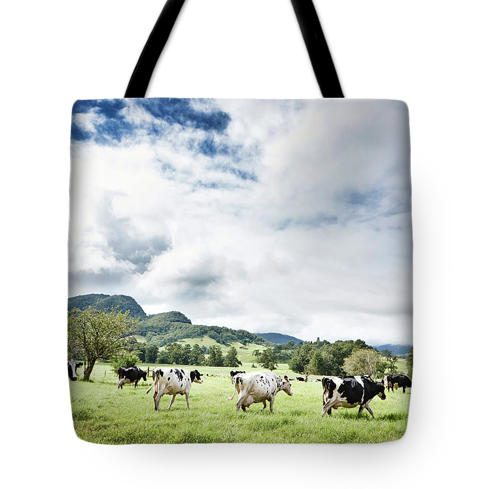Domestic Animals Tote Bag featuring the photograph Cows Walk In Beautiful Paddock by Stuart Miller