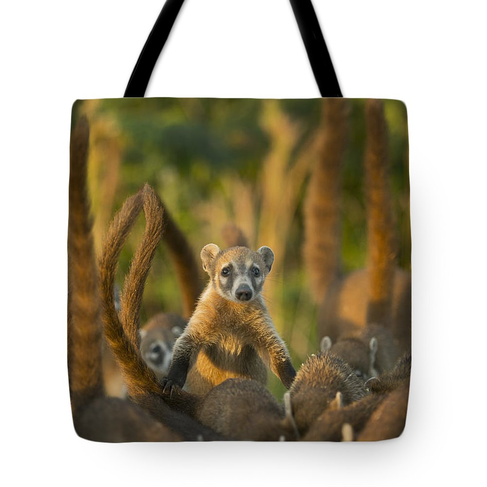 Kevin Schafer Tote Bag featuring the photograph Cozumel Island Coati Cozumel Island by Kevin Schafer