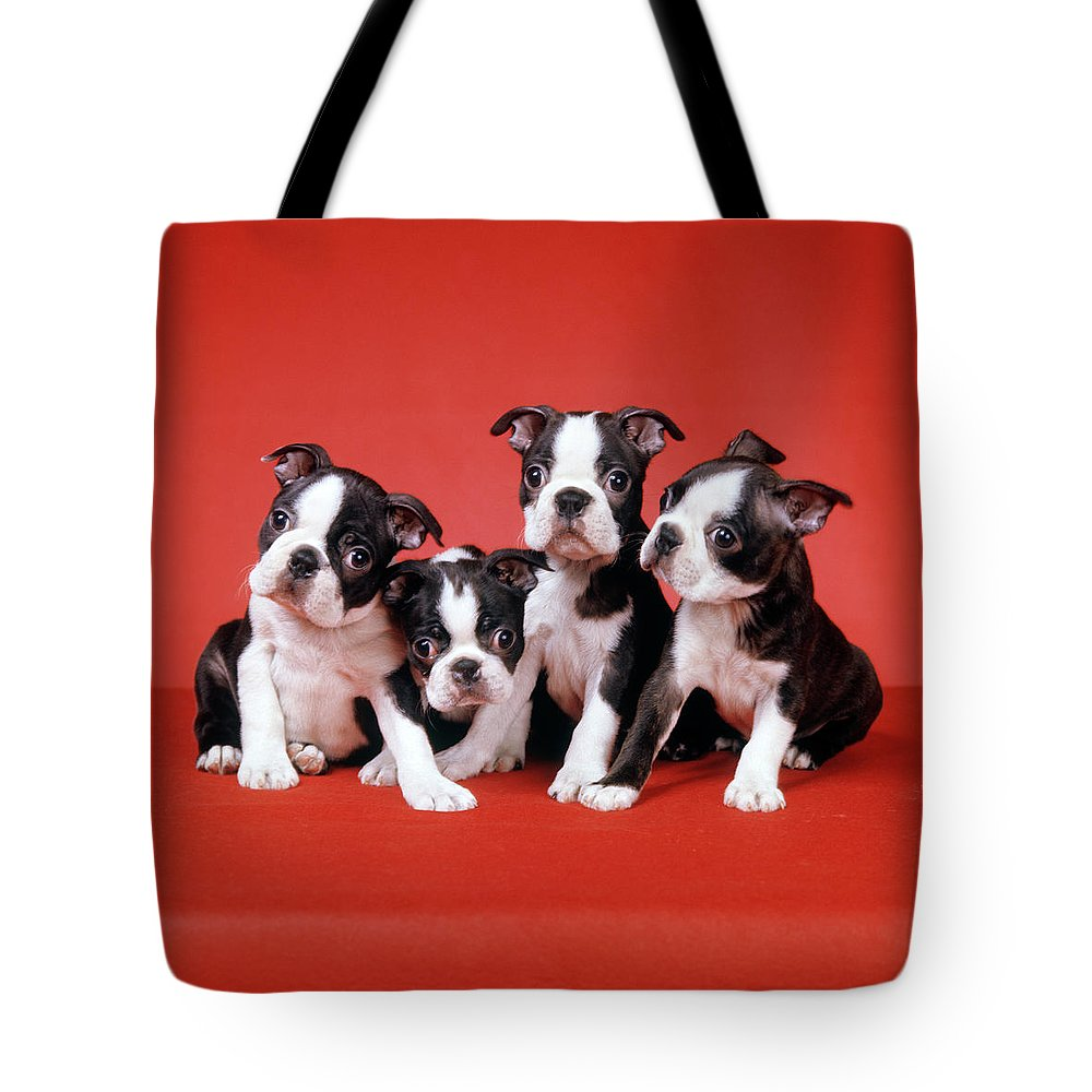 Photography Tote Bag featuring the photograph Four Boston Terrier Puppies On Red by Vintage Images