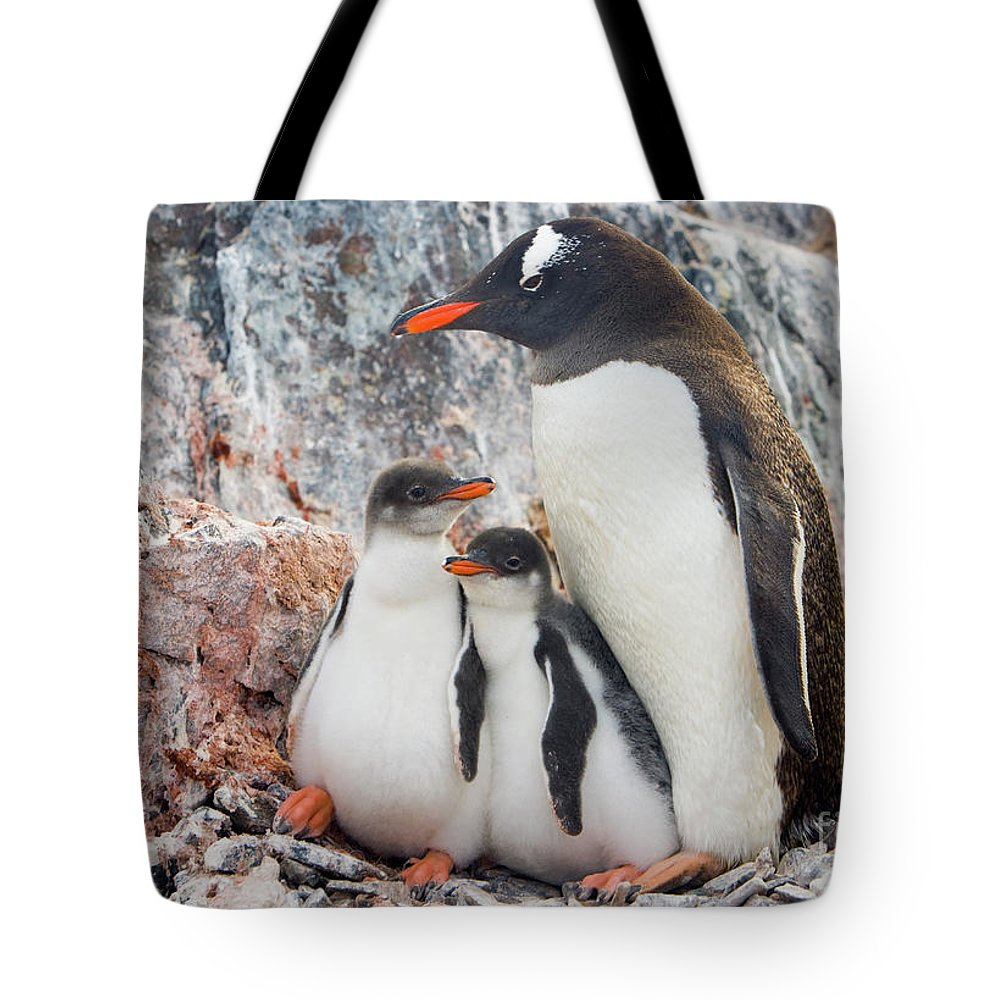 00345581 Tote Bag featuring the photograph Gentoo Penguin Family on Booth Isl by Yva Momatiuk and John Eastcott