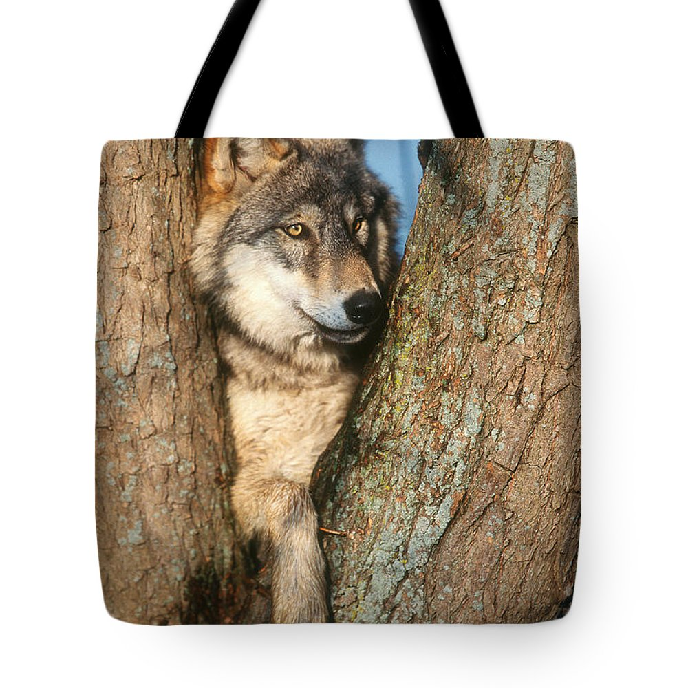 Fauna Tote Bag featuring the photograph Gray Wolf In Tree Canis Lupus by David Davis