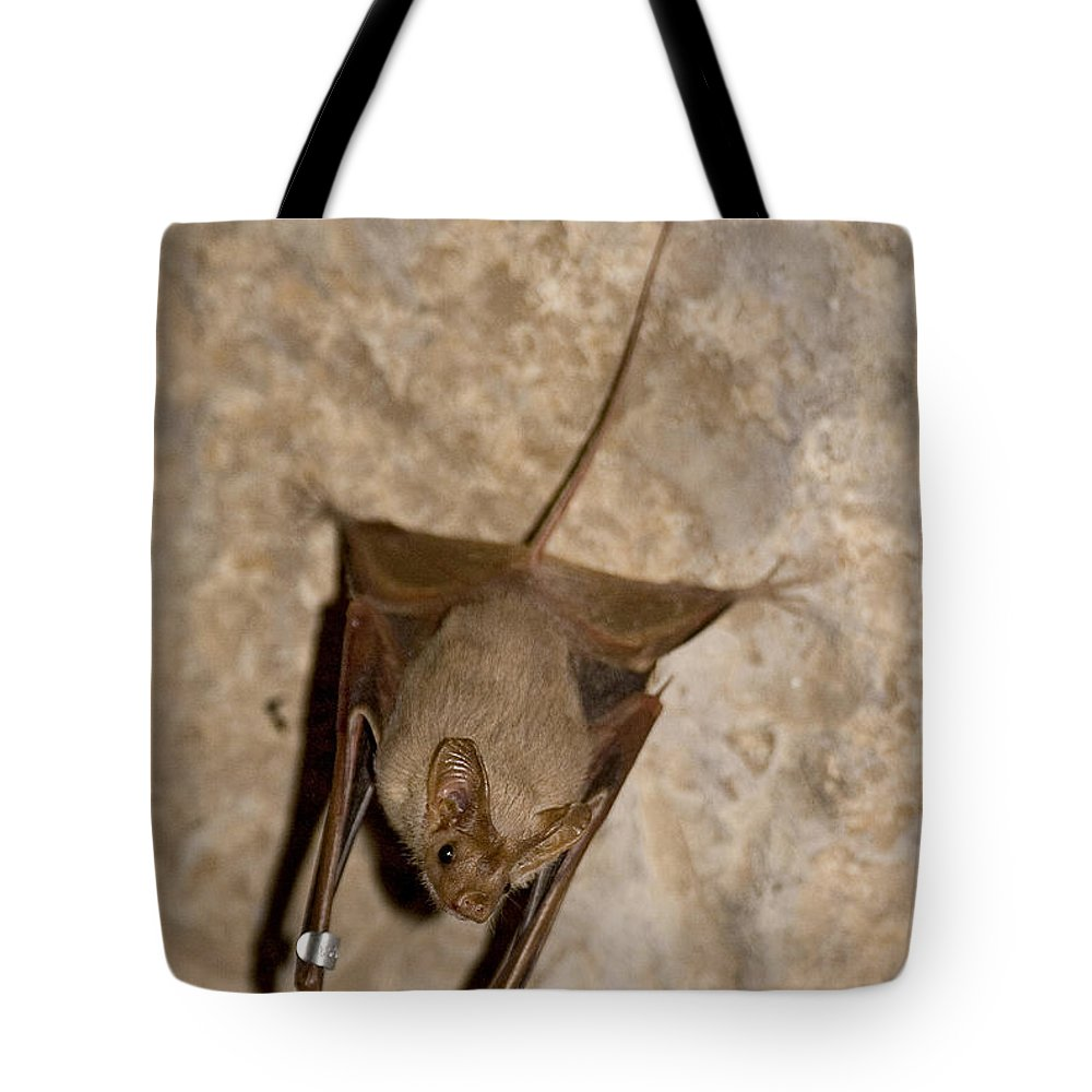 Mouse-tailed Bat Tote Bag featuring the photograph Greater Mouse-tailed Bat Rhinopoma Microphyllum by Eyal Bartov