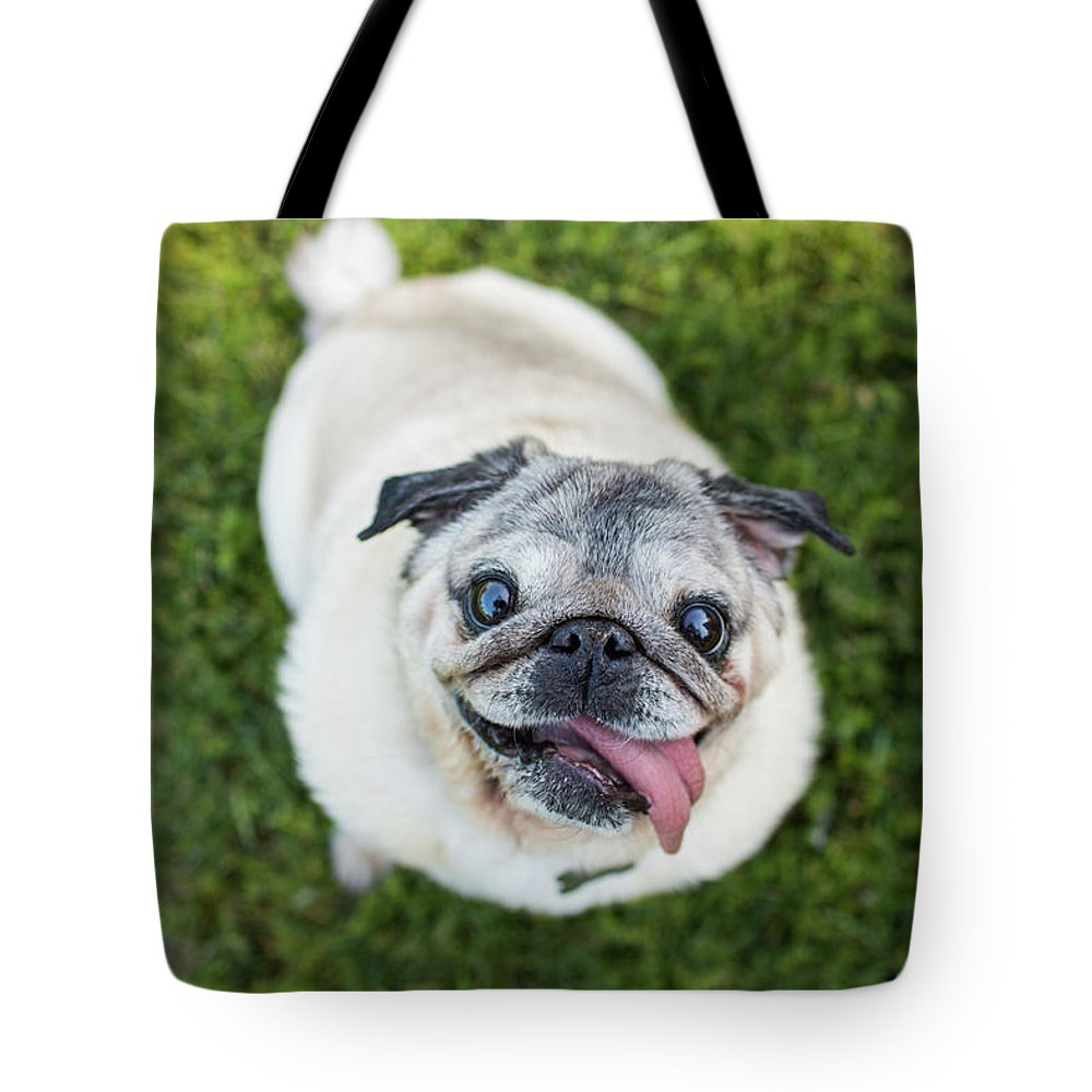Pets Tote Bag featuring the photograph Happy Pug Dog Looks Up At Camera by Purple Collar Pet Photography