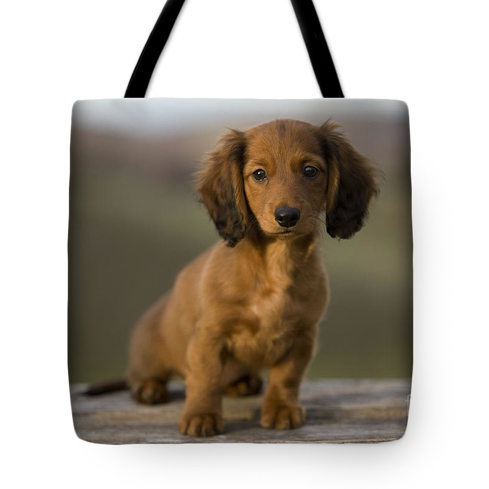 Long-haired Dachshund Tote Bag featuring the photograph Long-haired Dachshund Puppy by Jean-Michel Labat