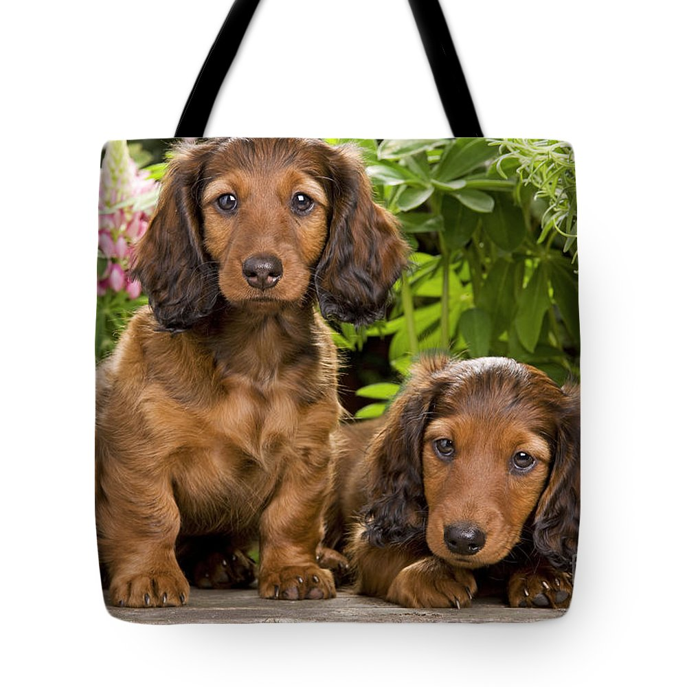 Long-haired Dachshund Tote Bag featuring the photograph Long-haired Dachshunds by Jean-Michel Labat