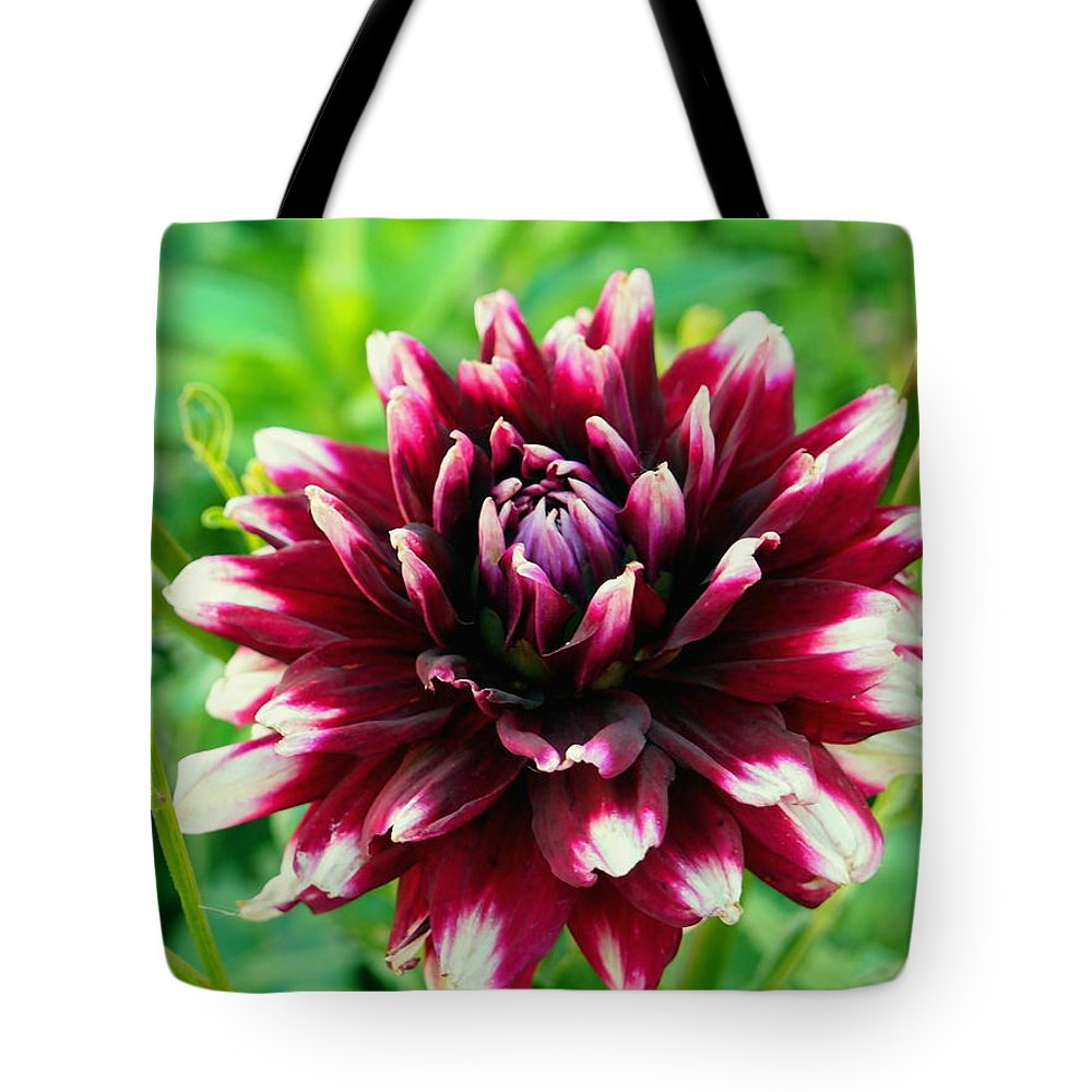 Maroon and white dahlia flower in the garden tote bag for sale by nature tote bag featuring the photograph maroon and white dahlia flower in the garden by amy izmirmasajfo