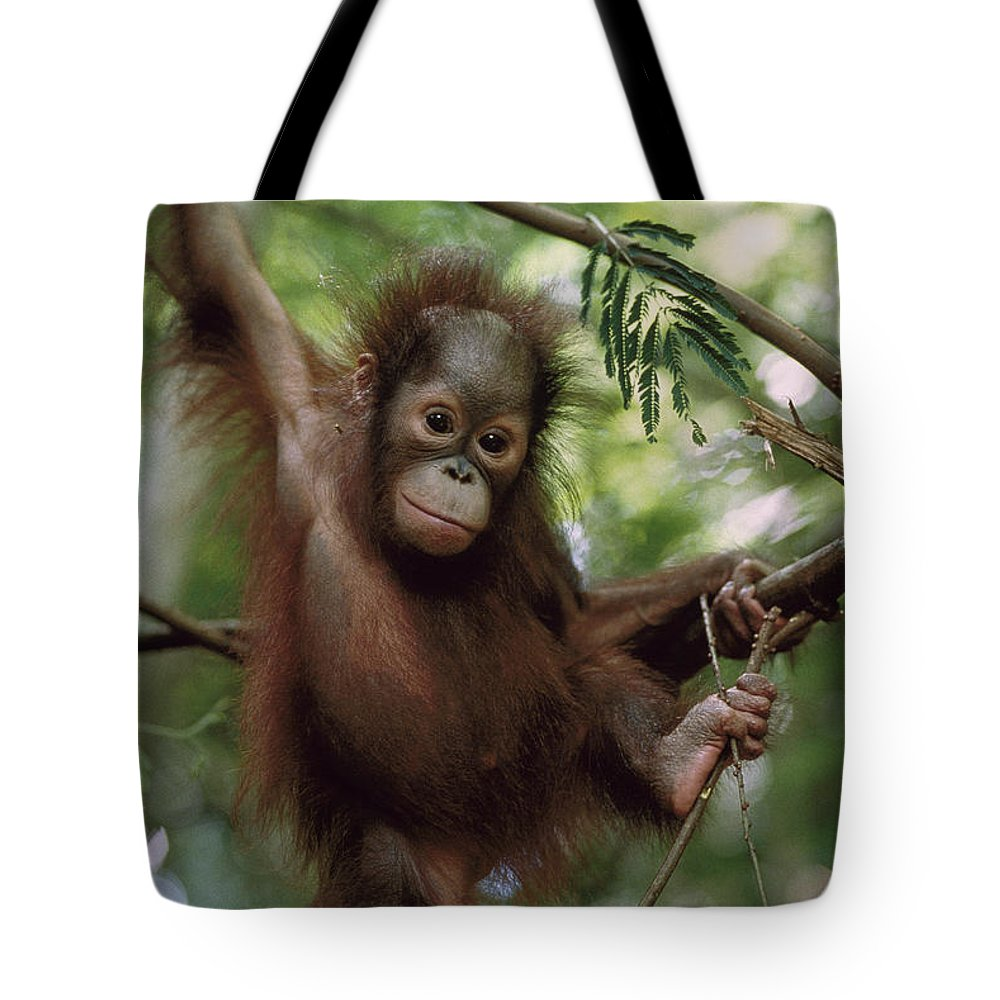Feb0514 Tote Bag featuring the photograph Orangutan Infant Hanging Borneo by Konrad Wothe