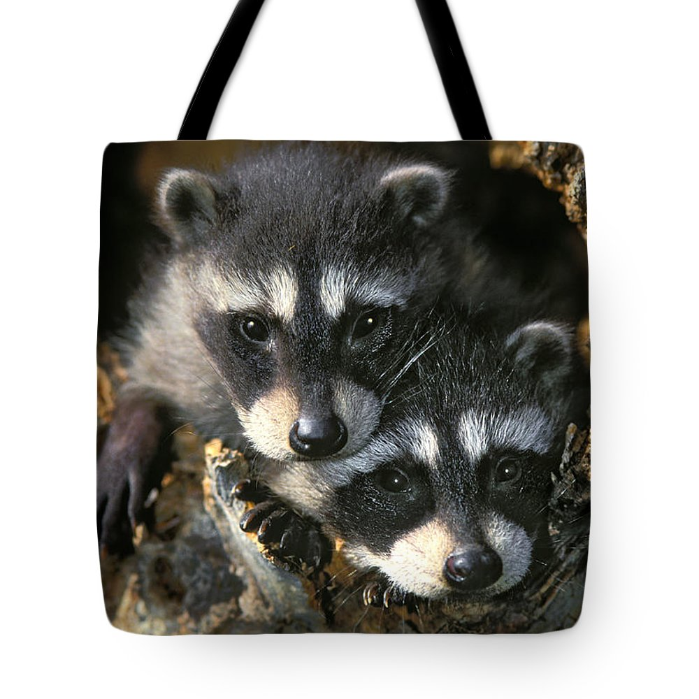 Light Tote Bag featuring the photograph Raccoon Young Procyon Lotor In Tree by Thomas Kitchin & Victoria Hurst