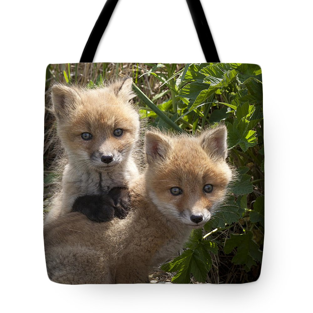 476740 Tote Bag featuring the photograph Red Fox Kits Playing Alaska by Matthias Breiter