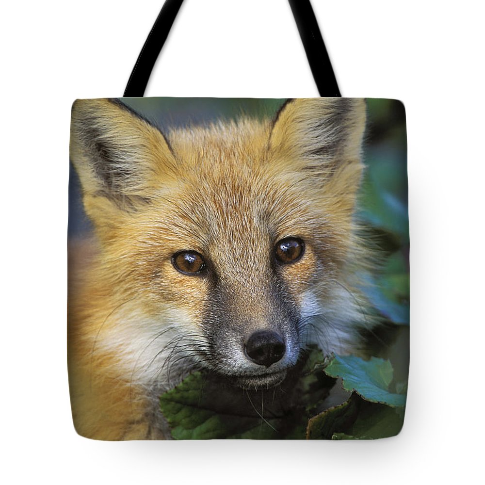 Light Tote Bag featuring the photograph Red Fox Vulpes Vulpes, Gros Morne by Thomas Kitchin & Victoria Hurst
