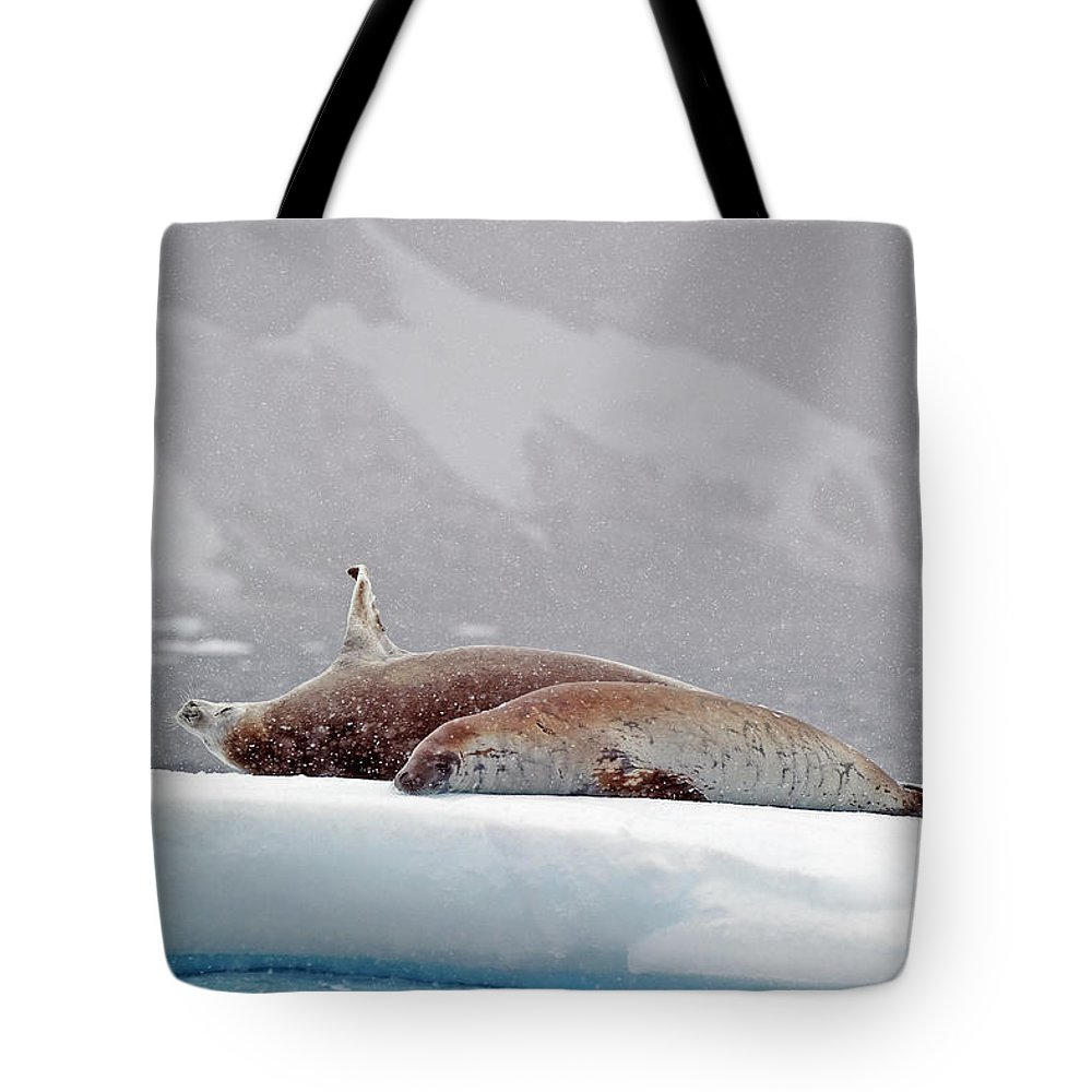 Animals In The Wild Tote Bag featuring the photograph Seals Laying On A Piece Of Ice by Jim Julien / Design Pics