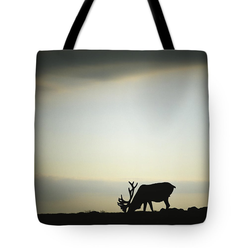 Light Tote Bag featuring the photograph Silhouette Of A Male Caribou At Sunset by Claude Bouchard