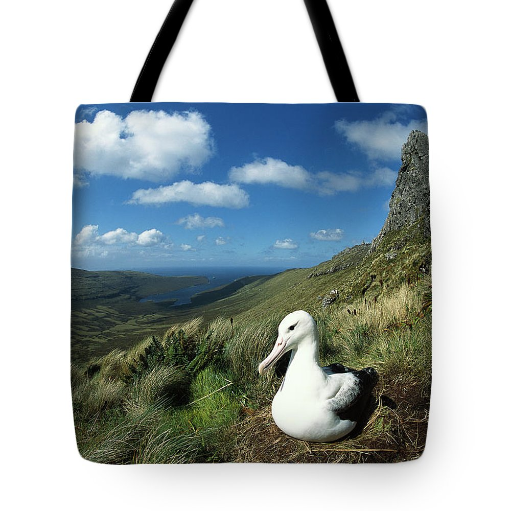 Animal In Landscape Tote Bag featuring the photograph Southern Royal Albatross by Tui De Roy