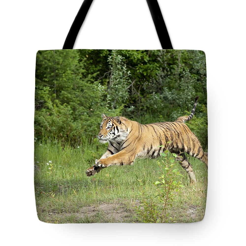 Tiger Tote Bag featuring the photograph The Chase Begins by Sandra Bronstein
