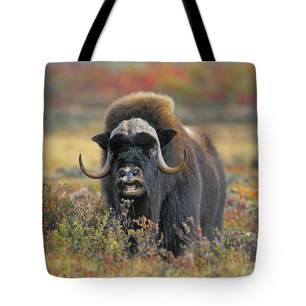 Light Tote Bag featuring the photograph Tk0034, Thomas Kitchin Muskox On Arctic by Thomas Kitchin & Victoria Hurst